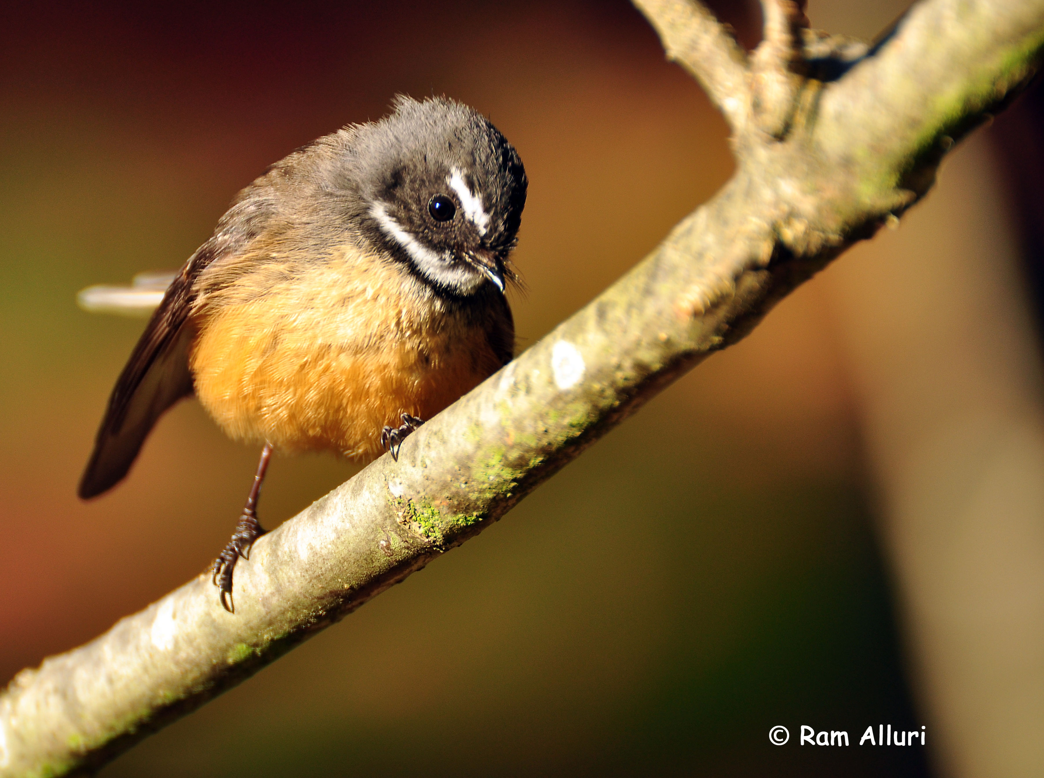 Names of Brown Birds Birds Names Fantail